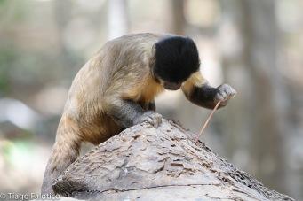 Capuchin monkey using a stick probe tool