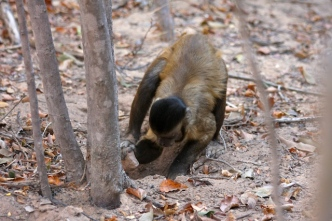 Adult male capuchin monkey using a stone to dig for roots.