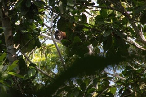 Capuchin monkey | Macaco-prego