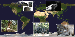 Fig-1-Locations-and-examples-of-stone-tool-use-by-wild-non-human-primates-and-early
